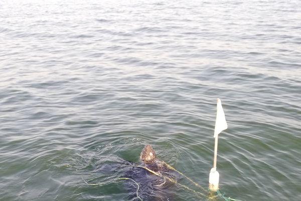 Prise dans le filet où se trouvaient quelques méduses, la tortue luth avait la tête sortie de l'eau et se débattait en surface