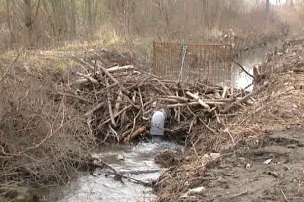 A Roquemaure, les castors ont construit des barrages qui empêchent l'eau de s'écouler.