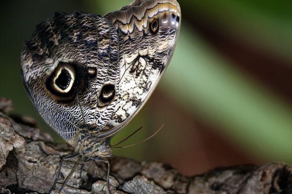 Avec leurs ocelles en forme d'yeux, les papillons hibou (photo) excellent dans l'art de tromper leurs prédateurs.