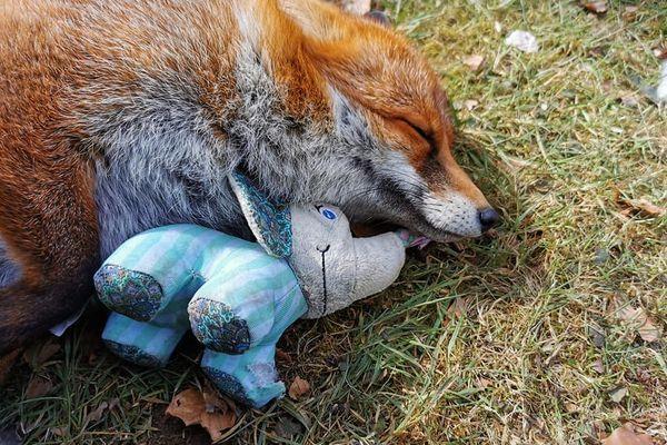 Lulu, Rouquette, Chipie, Ragnar, Cerise, Rosalie. Voici comment s'appellent les renards résident à l'Arche de cerise.