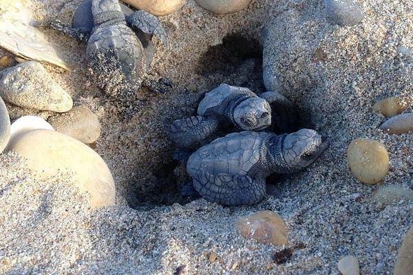 Une soixantaine d'oeufs de tortues Caouanne a éclos ce dimanche sur la plage des Aresquiers - 7 octobre 2018