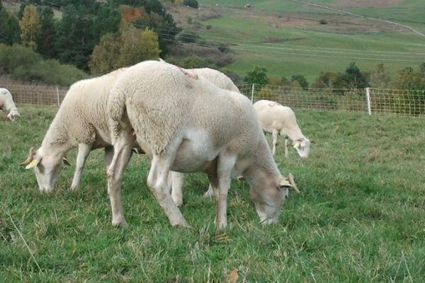 Aude : la filière ovine en plein essor - 26 octobre 2012.