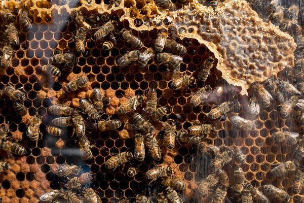 abeilles / illustration