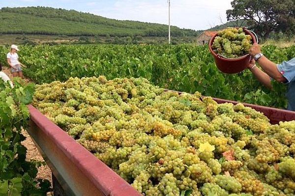 Frontignan (Hérault) - la vendange du muscat blanc a débuté - 31 juillet 2017.