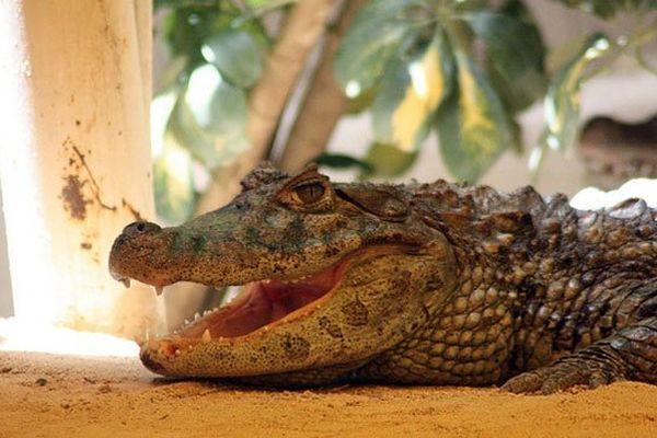 Près d'un mètre pour les jeunes alligators (aux comportements complexes), pour atteindre 2,50 mètres pour les adultes, ces derniers pouvant exercer des pressions de plus de 500 kilos avec leur mâchoire contenant 80 dents.