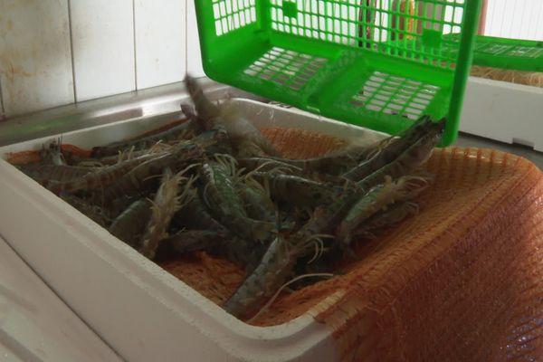 Les crevettes prêtes à partir pour la vente.