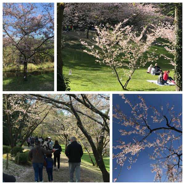 Des cerisiers en fleurs pour horizon