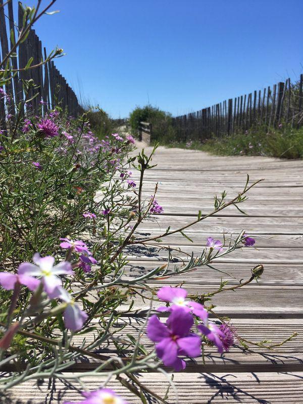 """Pendant les travaux de reconstitution du cordon dunaire, il y a cinq ans entre Carnon et la Grande Motte, des """"cheminements doux"""" en bois ont été aménagé pour permettre aux piétons de gagner la plage"""