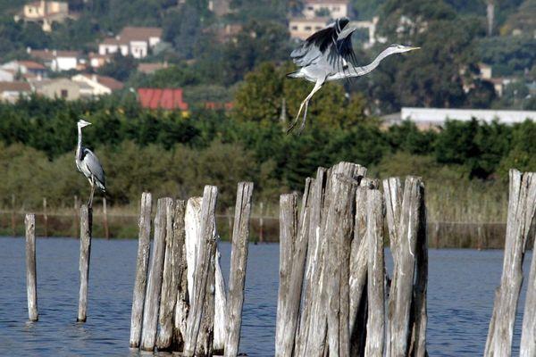 L'étang de Biguglia est classé réserve naturelle depuis 1994. Le site est égalment classé Zone d'Intérêt Communautaire pour les Oiseaux (ZICO), Zone de Protection Spéciale (ZPS) et Zone Spéciale de Conservation (ZSC) du réseau Natura 2000. Les scientifiques y ont observé la présence de pesticide.