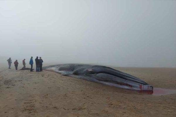 La baleine échouée sur la plage de La Tremblade en Charente-Maritime mesure 18 mètres de long et pèse 15 tonnes.