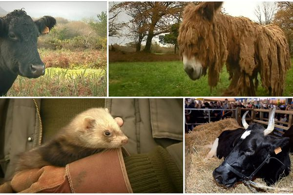 La vache Black Angus, le Baudet du Poitou, le furet ou encore la Pie Noire, des races atypiques élevées par des passionnés en Bretagne