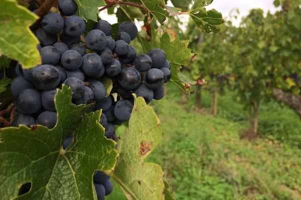 9 parcours différents seront proposés aux randonneurs pour découvrir des vignobles