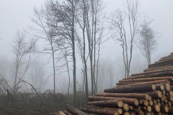 Coupe de bois infestés par le scolyte