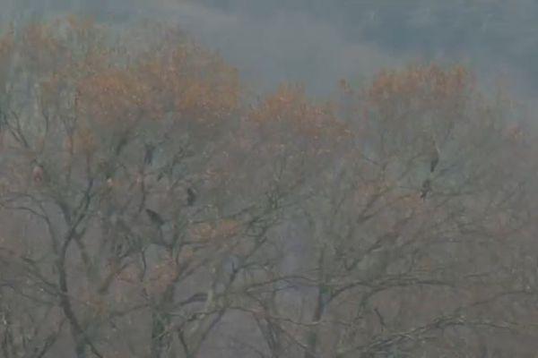 """Les Milans royaux se regroupent dans des arbres, appelés """"dortoirs"""", qui peuvent abriter plusieurs dizaines d'individus pendant la période d'hivernage ou de migration."""