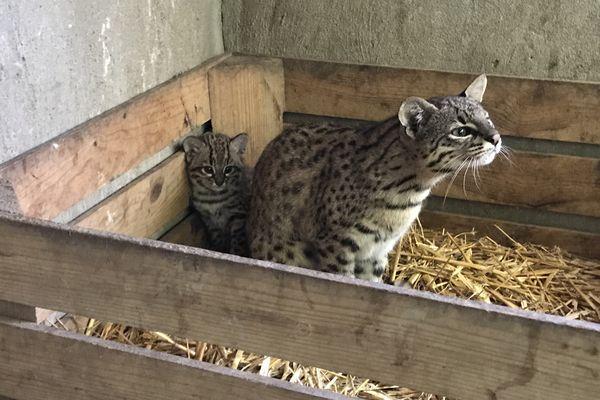 Lima est un chat de Geoffroy né il y a six semaines au Domaine des fauves de Fitilieu (Isère).
