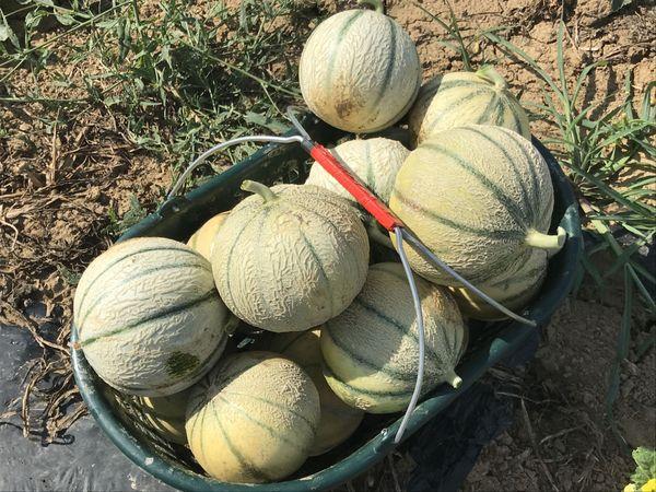 ILLUSTRATION / Récolte de melons
