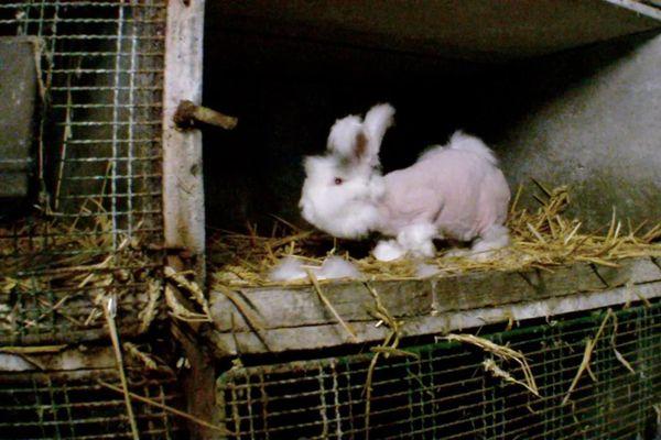 Un lapin angora après avoir été épilé, en 2016.