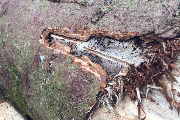 Les dégâts des scolytes dans la forêt de Levier (Jura).
