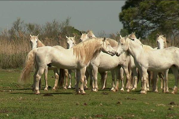 Le cheval Camargue fait partie des plus anciennes races au monde, il est le descendant des chevaux préhistoriques. Pourtant, les hommes n'ont reconnu officiellement cette race voilà juste 50 ans. C'était à Saint-Laurent-d'Aigouze, dans le Gard, en mars 1968.