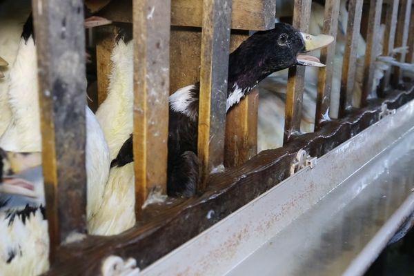 En 2012, l'association L214 a mené une enquête sur le gavage des oies.