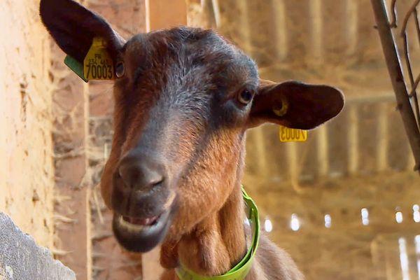 Les chèvres laitières sont en pleine période de lactation