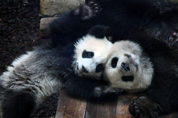 Huan Huan et son fils, Yuan Meng.