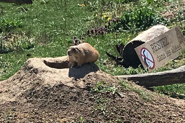 La vie des chiens de prairie en direct.