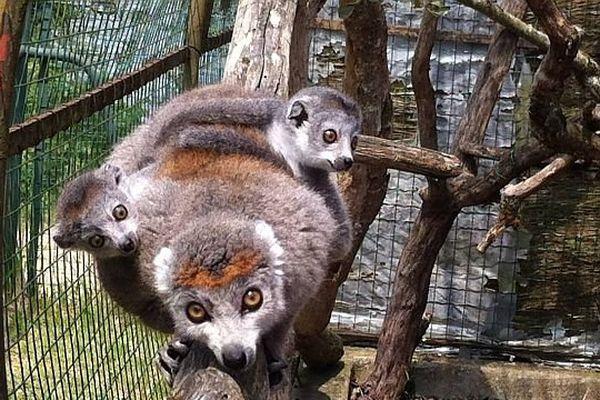 La femelle Irena et ses deux petites femelles nées en mai 2014 au Parc de la Haute-Touche (Indre)