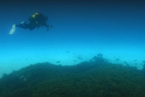 Cette algue verte inquiète les scientifiques de par sa prolifération rapide en Méditerranée