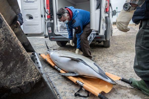 Les membres du centre de recherche sur les mammifères marins, PELAGIS, ramassent un dauphin mort sur une plage de l'Ïle de Ré, le 7 janvier 2021.