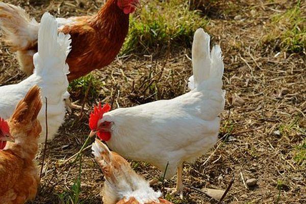 des poules pour recycler les déchets ménagers