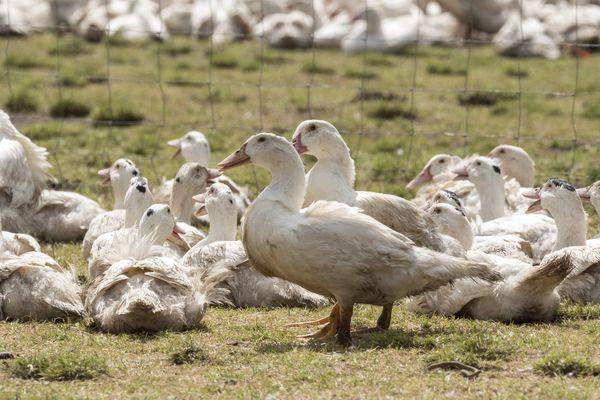 Le département des Landes est le premier producteur de foie gras en France.