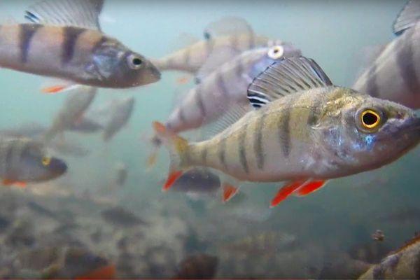 Des poissons avaient disparu depuis plus de 100 ans.