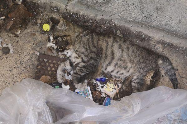 Un des chats parmi la vingtaine empoisonnée dans une cave du quartier Drouot de Mulhouse.