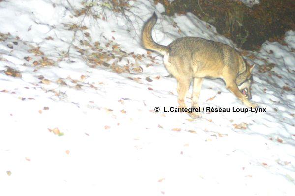 Nouveaux indices de présence du loup gris dans les Pyrénées-Atlantiques