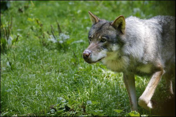 Saint Martin Vesubie, France le 07 aout 2018 - Les Loups du parc animalier ALPHA,