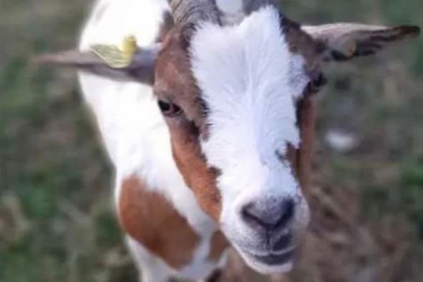 Une chèvre de la ferme du Secours populaire à Villers-Saint-Sépulcre