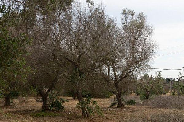 Des oliviers touchés par la bactérie Xylella Fastidiosa, près de Gallipoli, dans la région des Pouilles en Italie, en mai 2015.