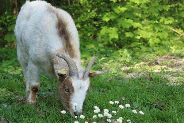 L'une des nombreuses chèvres de la ferme pédagogique de Cormontreuil (Marne).