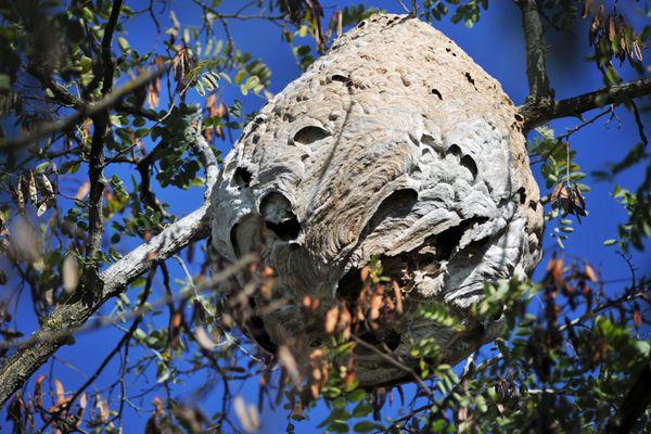 L'objectif de l'opération est d'empêcher la prolifération des nids de frelons