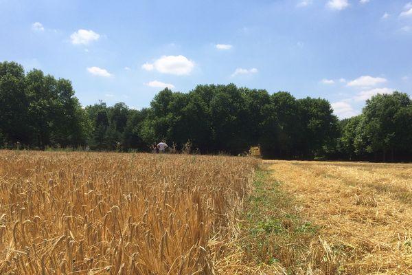 La moisson a débuté au Bois de Vincennes