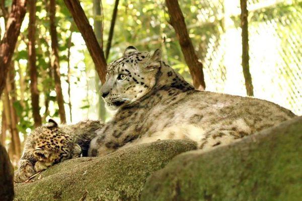 Un des deux bébés panthères des neiges avec sa maman au zoo d'Asson.