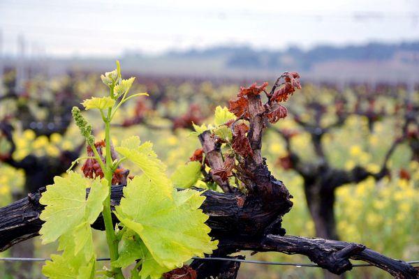 Une vigne attaquée par le gel de printemps, à Narbonne, dans l'Aude -29/04/2021.