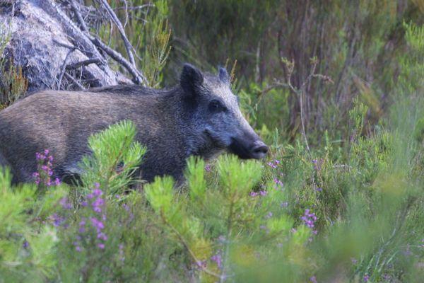 L'autorisation de chasser les sangliers à partir du 1er juin crée la polémique