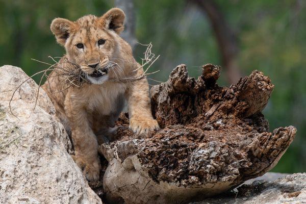 A partir du 19 mai, les visiteurs feront la rencontre de Tahassi et Tiwanga, deux petites lionnes âgées de 6 mois.