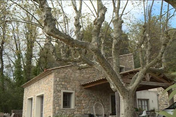 En une seule action, les arboristes grimpeurs avaient réussi à préserver ces érables situés à proximité d'une habitation grassoise