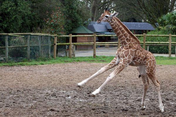 Au zoo de la Bourbansais, l'équipe de Tic Tak vient fêter la nature et observer les girafes et le girafon