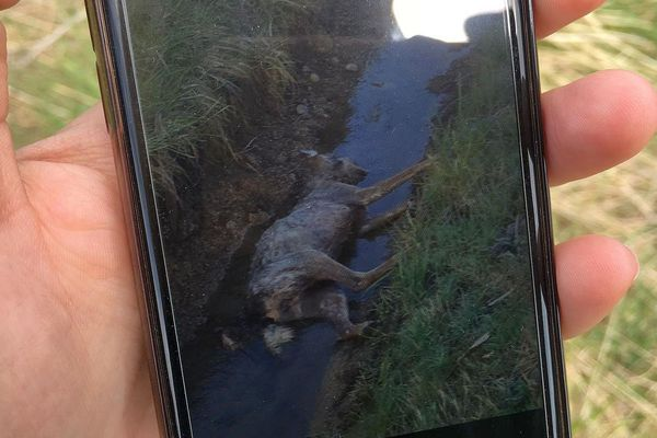 Photo du loup retrouvé mort à Châteauneuf-de-Randon en Lozère prise par Patrick Zimmermann- 23 mai 2019