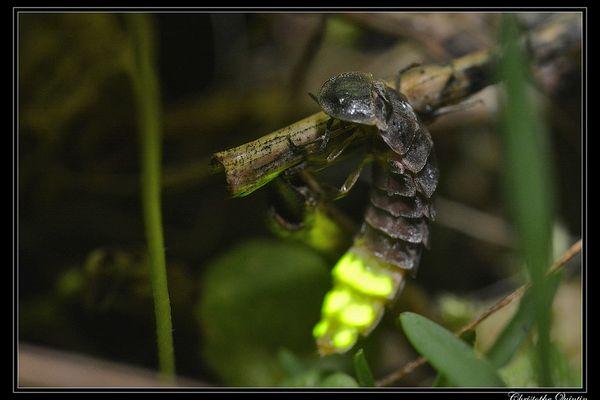 Ce coléoptère anciennement très commun est connu pour la capacité des femelles aptères à produire une lumière verte pour attirer les mâles ailés.