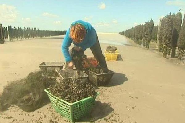 La récolte de la moule de Bouchot à Quend